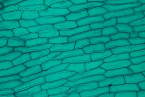 Cellules d'oignons à 40 x au microscope