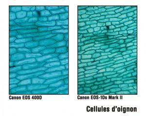 Cellules d'oignon